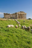 Sheep feeding in front of Temple E, Selinunte. Royalty Free Stock Images