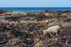 Sheep Feeding on Giant Kelp Royalty Free Stock Photography