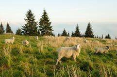 Sheep feeding on grass. White sheep feeding on grass on a upland meadow Royalty Free Stock Photo