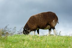 Sheep feeding on grass Stock Photo