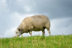 Sheep feeding on grass Royalty Free Stock Images