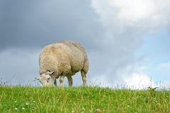 Sheep feeding on grass Stock Photos