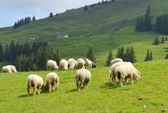 Sheep feeding grass in Appenzell Switzerland Royalty Free Stock Photos
