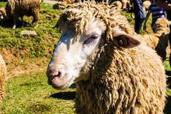 A sheep are feeding the grass. Beautiful nature. A sheep are feeding the grass. Beautiful animal Stock Photography