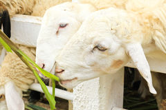 Sheep feeding grass Royalty Free Stock Photo