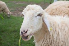 Sheep feeding grass in farm Royalty Free Stock Photography
