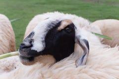 Sheep feeding grass in farm Stock Photography
