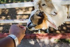 Sheep Feeding by hand Stock Photo
