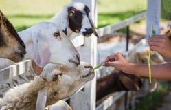 Sheep Feeding by hand, feeding Stock Photos