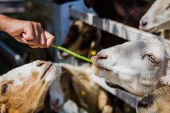 Sheep Feeding by hand Stock Images