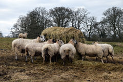 Sheep feeding. On a hay bale in a field Royalty Free Stock Photo