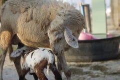 Sheep feeding her lamb. On a farm Stock Photo
