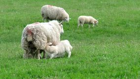 A sheep feeding her lamb in the highlands of Scotland. United Kingdom stock video footage