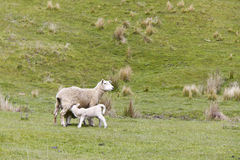 Sheep feeding her lamb. Image of sheep grazing in the fields of New Zealand royalty free stock photos