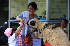 Sheep feeding Royalty Free Stock Images