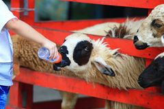 Sheep feeding Royalty Free Stock Photos