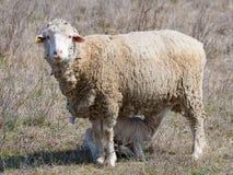 Sheep feeding a lamb Royalty Free Stock Image