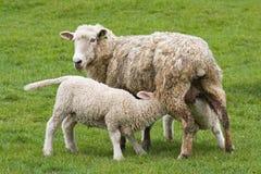 Sheep feeding lambs Stock Photography