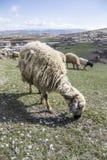 Sheep feeding on meadow Stock Photography