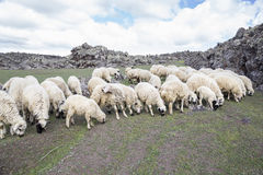 Sheep feeding on meadow Stock Images