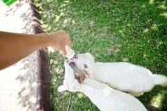 Sheep feeding : Close up. Sheep feeding milk : Close up Stock Photos