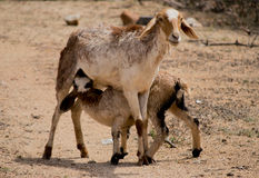 Sheep feeding. A mother sheep feeding her calf Royalty Free Stock Photography