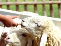 Sheep feeding Stock Images
