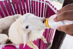 Sheep are feeding from a plastic bottle.Thailand. Sheep are feeding from a plastic bottle.Thailand Royalty Free Stock Photo