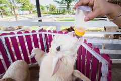 Sheep are feeding from a plastic bottle.Thailand. Sheep are feeding from a plastic bottle.Thailand Stock Photos