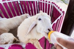 Sheep are feeding from a plastic bottle.Thailand. Sheep are feeding from a plastic bottle.Thailand Stock Images
