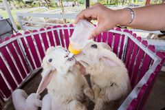 Sheep are feeding from a plastic bottle.Thailand. Sheep are feeding from a plastic bottle.Thailand Royalty Free Stock Photography