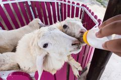 Sheep are feeding from a plastic bottle.Thailand. Sheep are feeding from a plastic bottle.Thailand Stock Photo