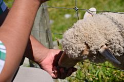 Sheep Feeding Queenstown New Zealand Stock Photos