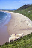Sheep feeding at Rhossili Bay. Rhossili, on the Gower Peninsular West Glamorgan Wales UK Stock Photos