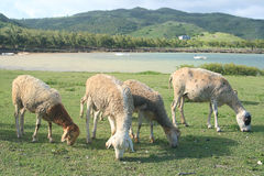Sheep feeding by the sea, Rodrigues Island. Image showing a group of sheep feeding on grass by the seaside, Rodrigues Island, Mauritius Stock Images