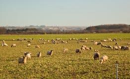 Sheep feeding on sugar beat waste. Stock Photos