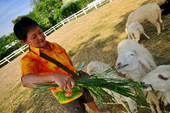 Sheep Feeding. Thai woman feeding a sheep in the farm, Ratchaburi , Thailand royalty free stock photo