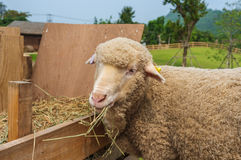 Sheep Feeding Time Royalty Free Stock Images