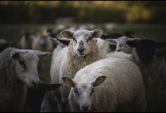 Sheep at Feeding Time. Herefordshire, UK Royalty Free Stock Photography