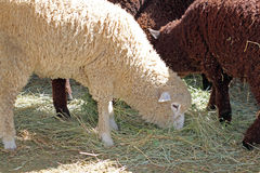 Sheep Feeding Together Royalty Free Stock Photos