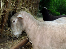 Sheep Feeding at Trough. A white sheep feeding at a trough Stock Photography