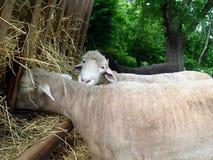 Sheep Feeding at Trough. White sheep feeding at a trough Stock Images