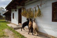 Sheep feeding in a village. Sheep livestock feeding in a traditional Slovakian village Royalty Free Stock Photos