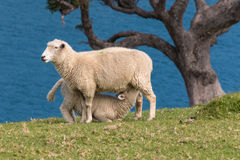 Sheep feeding young lamb. Picture of sheep feeding young lamb Royalty Free Stock Photo