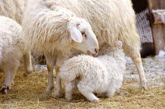 Sheep feeds its lamb. A female sheep feeds its suckling lamb Stock Photos