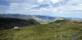 Sheep and the Fells. Sheep feeding on Thornthwaite Crag Stock Image