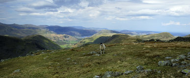 Sheep and the Fells. Sheep feeding on Thornthwaite Crag Royalty Free Stock Photos
