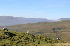 Sheep on fells, North Yorkshire, England Stock Photography