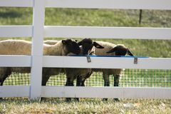 Sheep at fence. Three sheep standing next to a fence Royalty Free Stock Photos