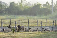 Sheep in the fence on the grass and the morning sun royalty free stock photo